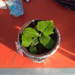 きゅうりをベランダの水耕栽培装置に移しますよ
