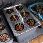 【水耕栽培】オーバーフロー式の水耕栽培装置を自作して小ネギを植え替えました