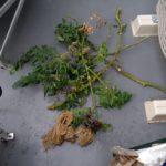 【水耕栽培】アロイトマトを撤収しました