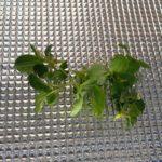 【ハイドロカルチャー】小松菜間引きました。