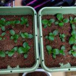 【ハイドロカルチャー】小松菜の土寄せ