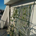 【水耕栽培】きゅうり 台風の後始末
