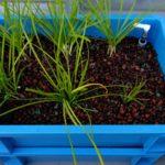 【養液栽培】自作養液栽培装置(ハイドロポニックシステム)にニラを植え替え