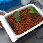 【養液栽培】ワサビの植え替え先を作る。  その4 植え替え